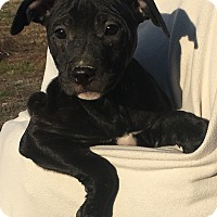 Adopt A Pet :: Lemon - Brattleboro, VT