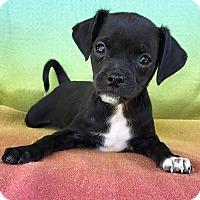 Adopt A Pet :: Daiquiri - santa monica, CA