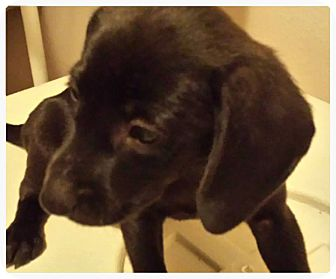 Dachshund Mix Puppy for adoption in Silsbee, Texas - Betsey