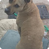 Adopt A Pet :: Cinnamon - Lakeville, MN