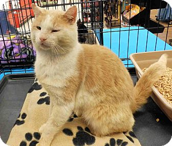 Domestic Shorthair Cat for adoption in Morganton, North Carolina - Dude
