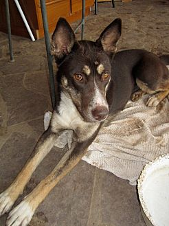 Siberian Husky/Cattle Dog Mix Dog for adoption in Santa Fe, New Mexico - Roxy