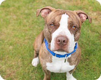 Pit Bull Terrier Mix Dog for adoption in Mansfield, Massachusetts - Lennon