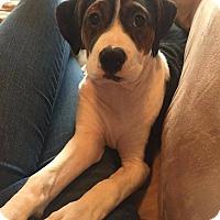 Adopt A Pet :: MooMoo - Westminster, MD