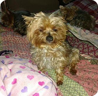 Yorkie, Yorkshire Terrier Dog for adoption in Goodyear, Arizona - Pip