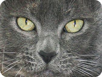 Domestic Shorthair Cat for adoption in Republic, Washington - Shadow