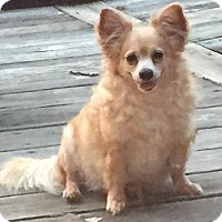 Chihuahua Dog for adoption in Little Rock, Arkansas - Corkey