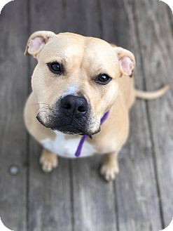 Pit Bull Terrier Mix Dog for adoption in Rockford, Illinois - Zia