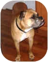 Boxer Dog for adoption in Sunderland, Massachusetts - Magnus