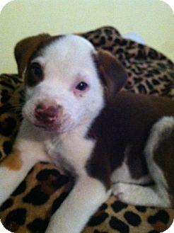 Australian Shepherd Mix Puppy for adoption in Glastonbury, Connecticut - Jeb