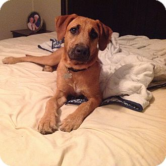 Black Mouth Cur/Redbone Coonhound Mix Dog for adoption in Westport, Connecticut - Solomon