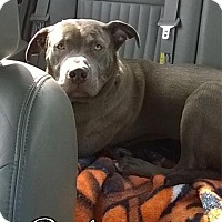 Adopt A Pet :: Diesel - Cary, IL