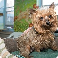 Adopt A Pet :: Coco Chanel - New York, NY