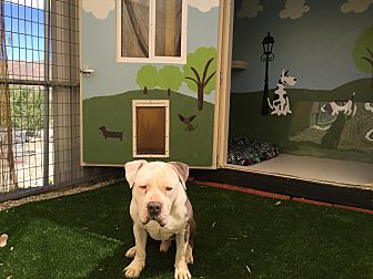 Pit Bull Terrier Mix Dog for adoption in West Hills, California - Bailey