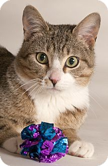 Domestic Shorthair Cat for adoption in Chicago, Illinois - Colin