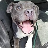 Adopt A Pet :: Ollie - Sharon, CT