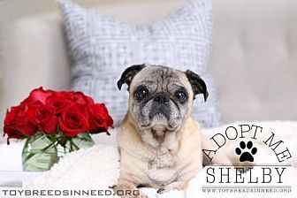 Pug Dog for adoption in Frederick, Maryland - Shelby