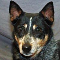 Adopt A Pet :: Dako - Modesto, CA