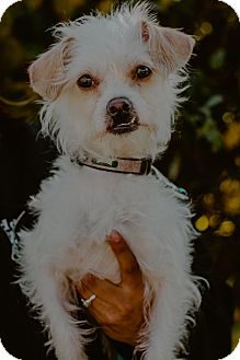 Shih Tzu/Wirehaired Fox Terrier Mix Dog for adoption in west berlin, New Jersey - Max