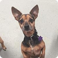 Adopt A Pet :: Guns - Phoenix, AZ