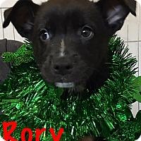 Adopt A Pet :: Rory - Detroit, MI