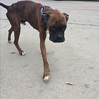 Adopt A Pet :: Valen - Austin, TX