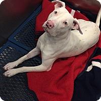 Adopt A Pet :: Gucci - Avon, OH