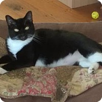 Domestic Shorthair Cat for adoption in Sanford, North Carolina - Monkey (in foster)