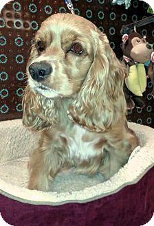 Cocker Spaniel Dog for adoption in Sugarland, Texas - Emily