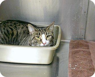 Domestic Shorthair Kitten for adoption in bridgeport, Connecticut - Kai
