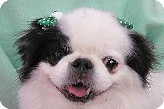 Japanese Chin Dog for adoption in Aurora, Colorado - Diamond