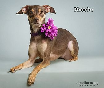 Miniature Pinscher Mix Dog for adoption in Chandler, Arizona - Phoebe