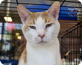 Domestic Shorthair Cat for adoption in Charlotte, North Carolina - A..  Oskar