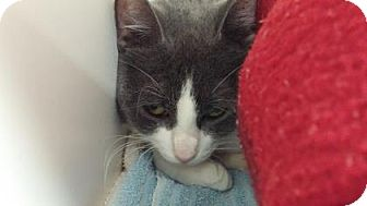 Domestic Shorthair Cat for adoption in Reisterstown, Maryland - Watermelon
