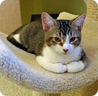 Domestic Shorthair Kitten for adoption in Fairfax, Virginia - Tyler