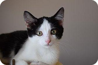 Domestic Shorthair Kitten for adoption in Wichita, Kansas - Nicco