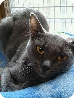 Burmese Cat for adoption in Witter, Arkansas - Valentine (pure blue Burmese)