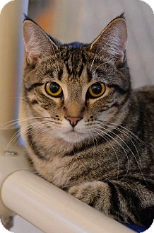 Domestic Shorthair Cat for adoption in Geneseo, Illinois - Joey