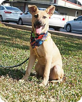 Labrador Retriever/Shepherd (Unknown Type) Mix Puppy for adoption in Castro Valley, California - Q-T