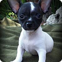 Toy Fox Terrier/Chihuahua Mix Puppy for adoption in Anaheim Hills, California - Dash