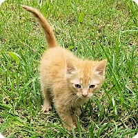 Domestic Shorthair Kitten for adoption in Cherry Hill, New Jersey - Titan