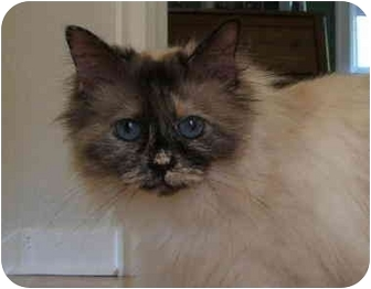 Ragdoll Cat for adoption in Keizer, Oregon - Muffett