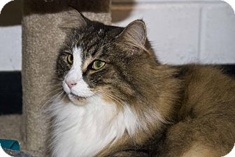 Norwegian Forest Cat Cat for adoption in New Port Richey, Florida - Holly