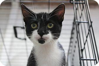 Domestic Shorthair Kitten for adoption in Santa Monica, California - Mikimoto