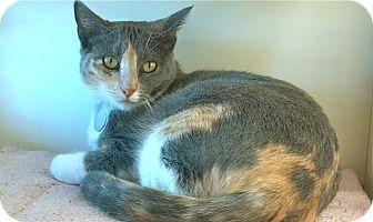 Calico Cat for adoption in Phoenix, Arizona - Jazer