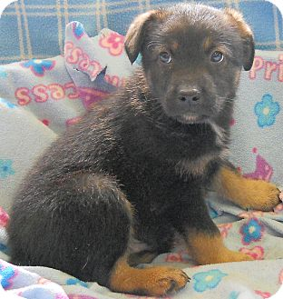 Labrador Retriever/German Shepherd Dog Mix Puppy for adoption in River Falls, Wisconsin - Spirit