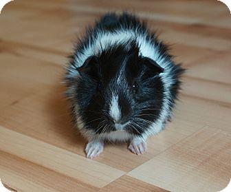 Guinea Pig for adoption in Brooklyn Park, Minnesota - Elvis