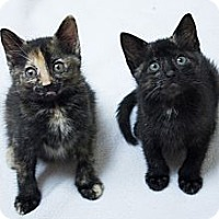 Adopt A Pet :: Belle & Tiana - Chicago, IL
