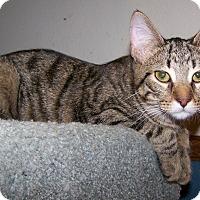Adopt A Pet :: Sorbet - St. Louis, MO