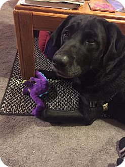 Labrador Retriever Dog for adoption in Loveland, Colorado - Rocco